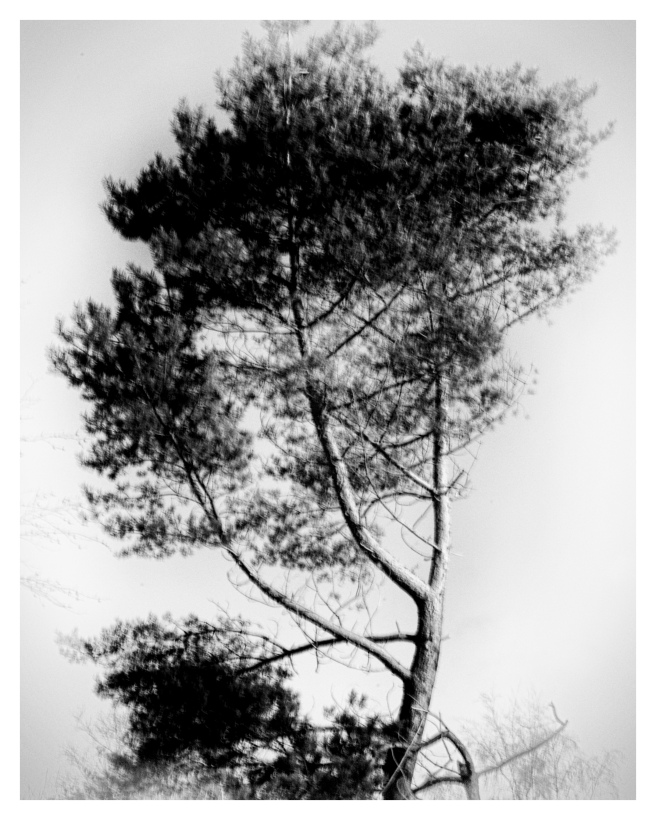 japanese-tree